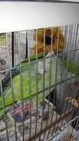 Kris, mi ave cotorra argentina macho, tiene pérdida de pelo y picor y rascarse