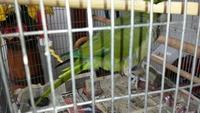 Pérdida de pelo en aves, Cotorra argentina