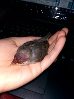 Dolor al contacto en aves, Desconocida