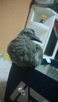 Pichon, mi ave desconocida macho, tiene dolor al contacto y agresiones