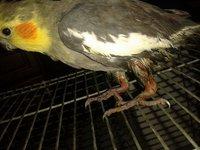 Jhonny, mi ave cacatúa ninfa macho, tiene heridas y dolor al contacto