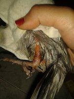 Dolor al contacto en aves, Cacatúa ninfa