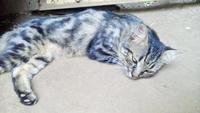 Chinkunguya, mi gato angora turco macho, tiene respira con dificultad