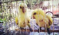 Estornudos en aves, Desconocida