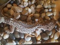 Fede, mi reptil desconocida macho, tiene dificultad al masticar