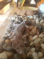 Dificultad al masticar en reptiles, Desconocida
