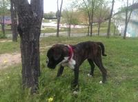 Atila, mi perro bóxer macho, tiene vómito, sangre en las heces, y mal apetito