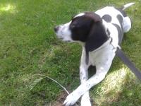 Gruñe en perros, Beagle