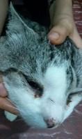 Pelos, mi gato desconocida macho, tiene secreción ocular y nubes o película transparente blanca en los ojos