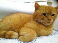 Orina en casa en gatos, Persa tradicional