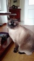 Nubes o película transparente blanca en los ojos en gatos, Siamés