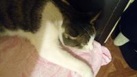 Sobreexcitado en gatos, Americano de pelo áspero