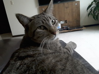 Bella, mi gato común europeo hembra, tiene dificultad al masticar
