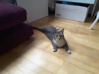 Dificultad al masticar en gatos, Común europeo