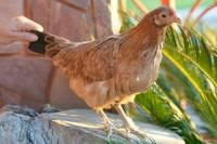 Dificultad al tragar en aves, Cotorra puertorriqueña