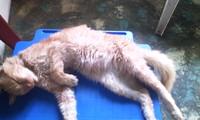 Orina demasiado frecuentemente en gatos, Siamés