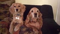 Candy, mi perro cocker spaniel inglés hembra, tiene respira con dificultad y tos