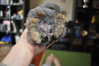 Chinchin, mi roedor cobaya teddy hembra, tiene mal apetito