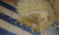 Respiración ruidosa en roedores, Erizo albino