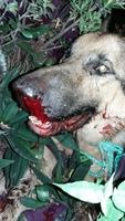 Hans, mi perro pastor alemán macho, tiene mucho moco en la nariz, respiración ruidosa y sangrado de nariz