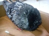 Mal apetito en aves, Guacamayo aliverde