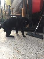 Inclina la cabeza en gatos, Común europeo