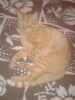 Orina muy poco en gatos, Común europeo