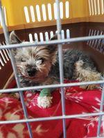 Orina muy poco en perros, Yorkshire terrier