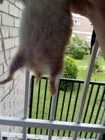 Agresiones en roedores, Hámster ruso