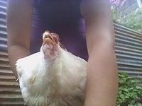 Respira con dificultad en aves, Broiler