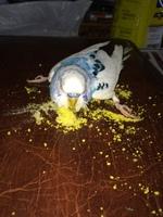 Cojera en aves, Periquito azul cielo
