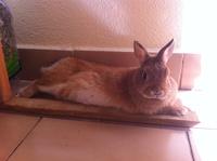 Maya, mi roedor chinchilla doméstica hembra, tiene dificultad para defecar
