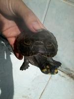 Tortu Y Tuga, mi reptil tortuga orejas amarillas hembra, tiene nubes o película transparente blanca en los ojos