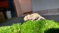 Dificultad al masticar en reptiles, Camaleón