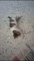 Mia, mi gato desconocida hembra, tiene dificultad al caminar o levantarse, jadeo, y inclina la cabeza