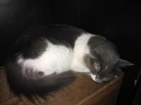 Dificultad al tragar en gatos, Europeo de pelo corto
