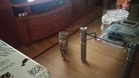 Incontinencia en gatos, Común europeo