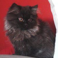 Jadeo en gatos, Persa tradicional