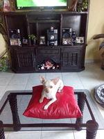 Desmayos en perros, Chihuahueño