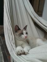 Flatulencia en gatos, Siamés