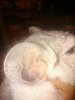Se rasca en los oídos en roedores, Chinchilla doméstica