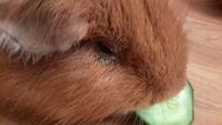 Secreción ocular en roedores, Cobaya