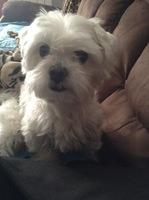Trasto, mi perro bichon maltés macho, tiene un problema digestivo y salud