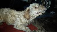 Layka, mi perro desconocida hembra, tiene respira con dificultad