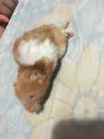 Querubin, mi roedor hámster sirio o dorado macho, tiene dificultad al caminar o levantarse, inclina la cabeza, y debilidad