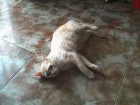 Desorientación en gatos, Persa tradicional