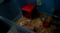 Jadeo en roedores, Hámster ruso