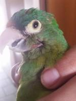 Popeye, mi ave agapornis canus macho, tiene heridas, sobreexcitado y agresiones