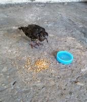 Debilidad en aves, Desconocida