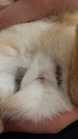 Hinchazón testicular en roedores, Desconocida